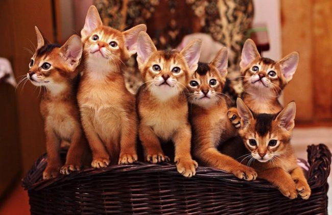 Великолепные абиссинские котята