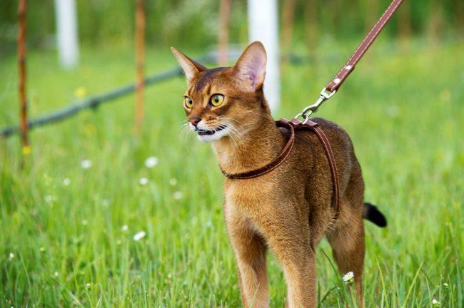 Абиссинская кошка очень любопытна, она доберется до таких мест в квартире, о которых вы и подумать не могли заранее
