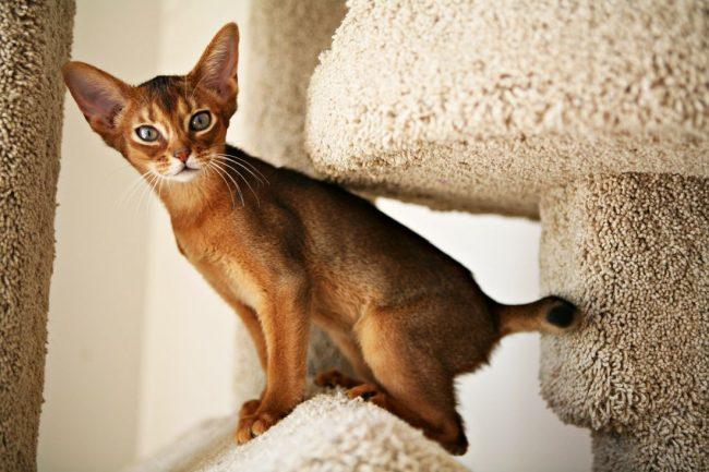 Абиссинская кошка любит все домашние дела делать вместе с хозяином