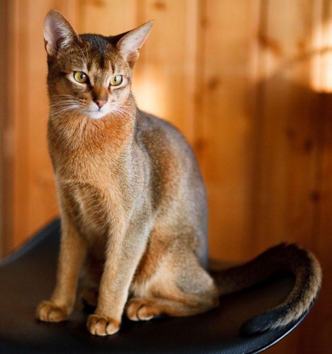 Благодаря своей текстуре шерсть таких кошек в тщательном уходе не нуждается