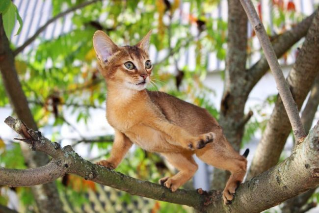 Абиссинская кошка отличается незаурядным умом, хорошими манерами и быстрой реакцией