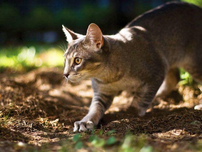 Абиссинская кошка очень ловкая, быстро на все реагирует, имеет почти сибирское здоровье