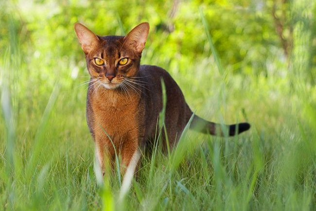 Абиссинские кошки - одна из древнейших пород на земле, они изумительно красивы, грациозны и изящны!