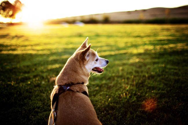 Собаки этой породы характеризуются высоким уровнем интеллекта и спокойным характером