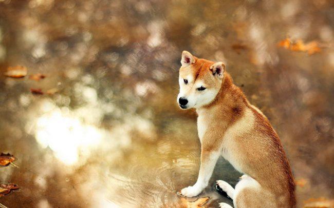 Акита-ину умная и спокойная собака, но в тоже время независимая и обладающая сильной волей