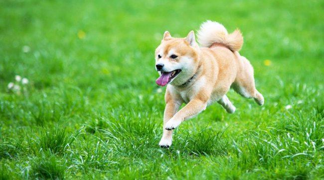Эти собаки любят проводить время на чистом воздухе, поэтому требуют частых прогулок и подвижных игр
