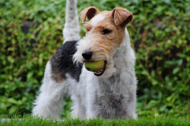 Фоксы - игривые и добродушные собаки