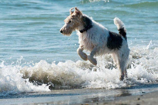 Фокстерьеры очень любят купаться и резвиться в воде