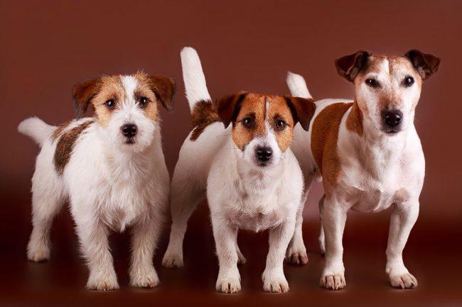 Собаки породы джек-рассел терьер отличаются от многих других более уравновешенным поведением, меньше лают, они ласковые и уступчивые