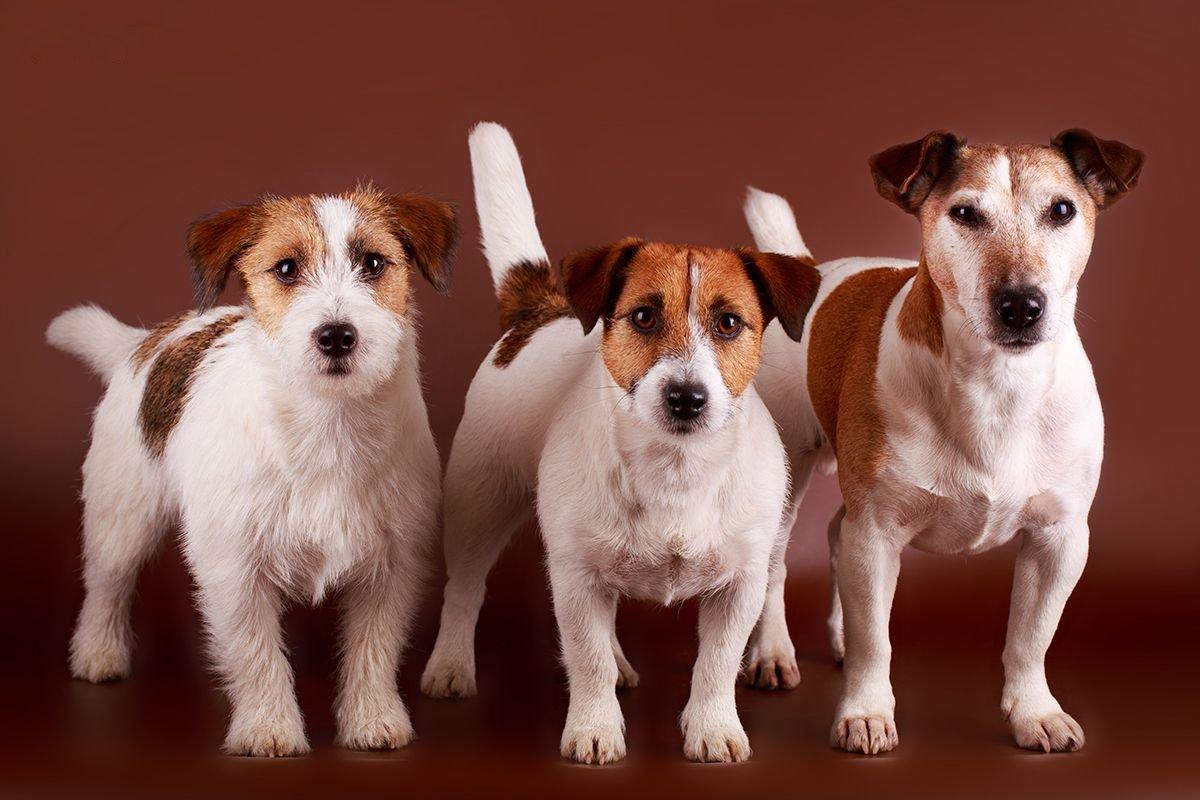 Джек-Рассел терьер (фото) - жизнерадостная порода собаки ...