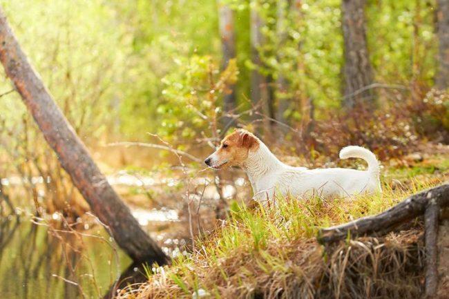 Джекс-рассел нуждается в ежедневных прогулках на свежем воздухе. Особенно он любит активные забавы: бег, прыжки, игры