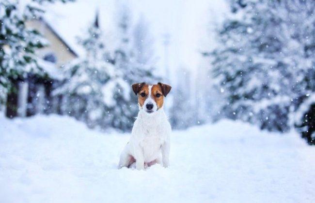 Породу джек-рассел терьер можно содержать на улице: они легко переносят холодную, даже снежную, погоду