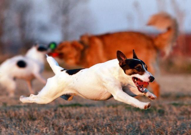 Для собаки породы джек-рассел терьер характерен неугомонный нрав, они не могут спокойно сидеть на месте, ведь для них движение – это жизнь