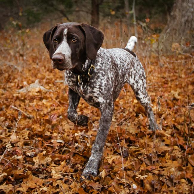 Короткая и густая шерсть печеночного с белым крапом окраса высоко оценивается на собачьих выставках