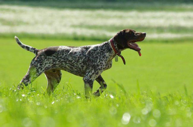 Курцхаар фото собак шоколадного цвета