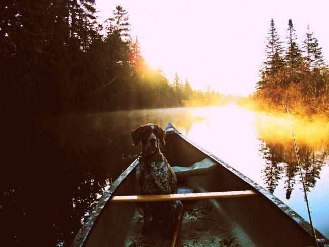 Немецкий пойнтер — охотник с разносторонними способностями — универсальная собака, надежно работающая в поле и в воде
