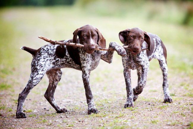 Курцхаар мягкий, ласковый, уравновешенный и послушный – замечательные качества для этого пса