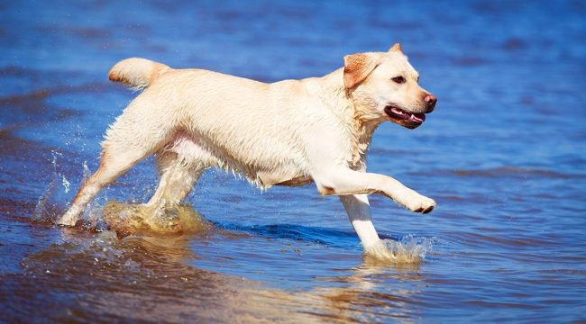 Лабрадор–ретривер незаменимый помощник для охотника за дичью на водоёмах