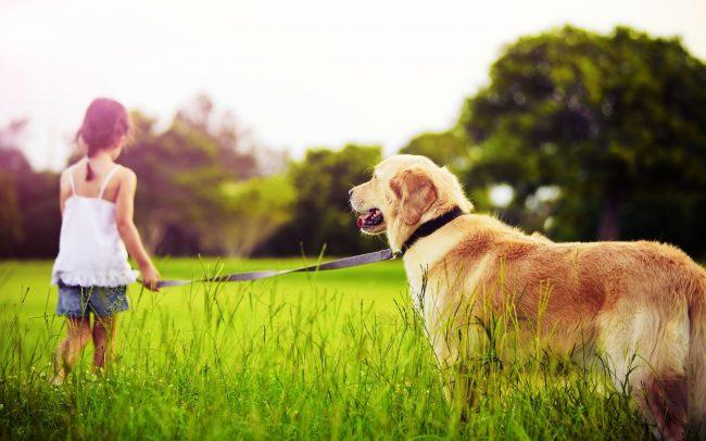 Лабрадоры-ретриверы очень жизнерадостные собаки, доброжелательны даже с незнакомыми людьми