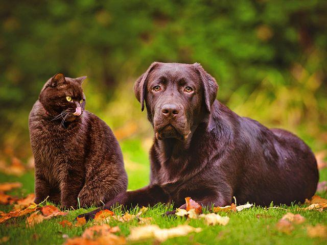 Лабрадор-ретривер – добрая по натуре, без следа агрессии или чрезмерной робости собака