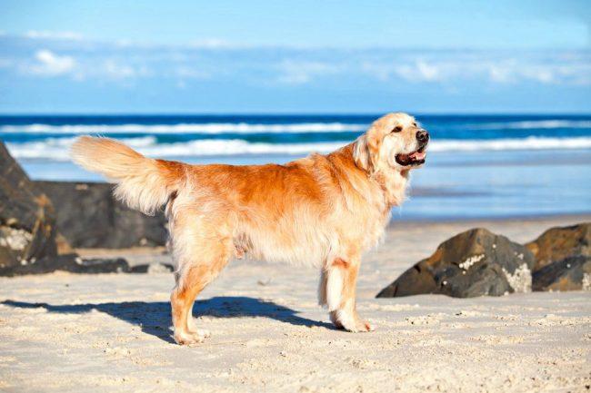 Лабрадор – очень красивая, элегантная, интеллигентная и чистоплотная собака