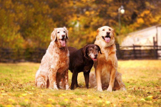 Лабрадоры хорошо ладят с другими собаками: они будут играть, бегать, прыгать – в общем, станут настоящими друзьями!