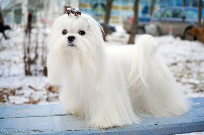 Белая собачка с роскошной шерстью похожа на белое облако
