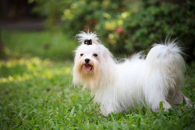 Маленькие собачки нуждаются в трепетном и аккуратном отношении