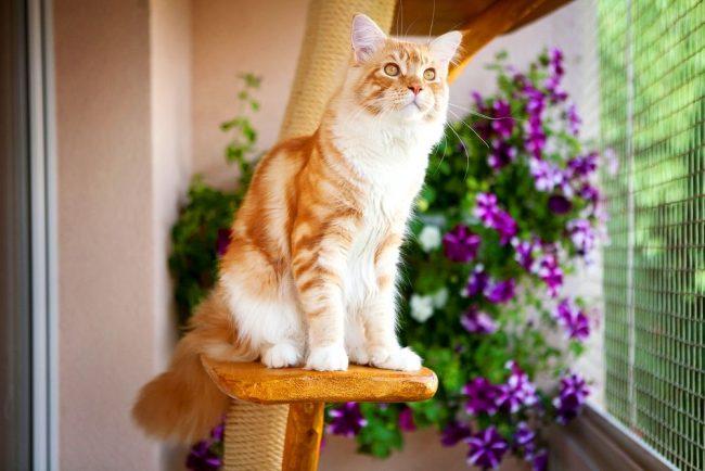 Шерсть для мейн-кунов, как, впрочем, и для любых других пород кошек, их достоинство. Однако ухаживать за ней совсем несложно: достаточно вычёсывать кота раз в неделю щёткой