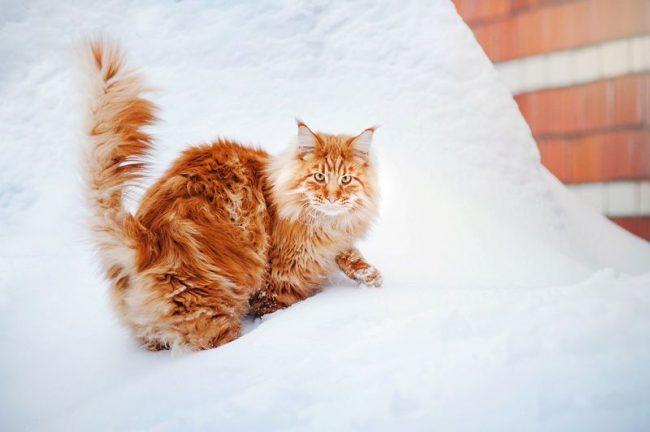 Прогулка зимой для мейн-куна – не проблема: кун на снегу – это сплошной восторг и краса неземная. К тому же, мейн-куны – коты северные, предпочитают прохладу