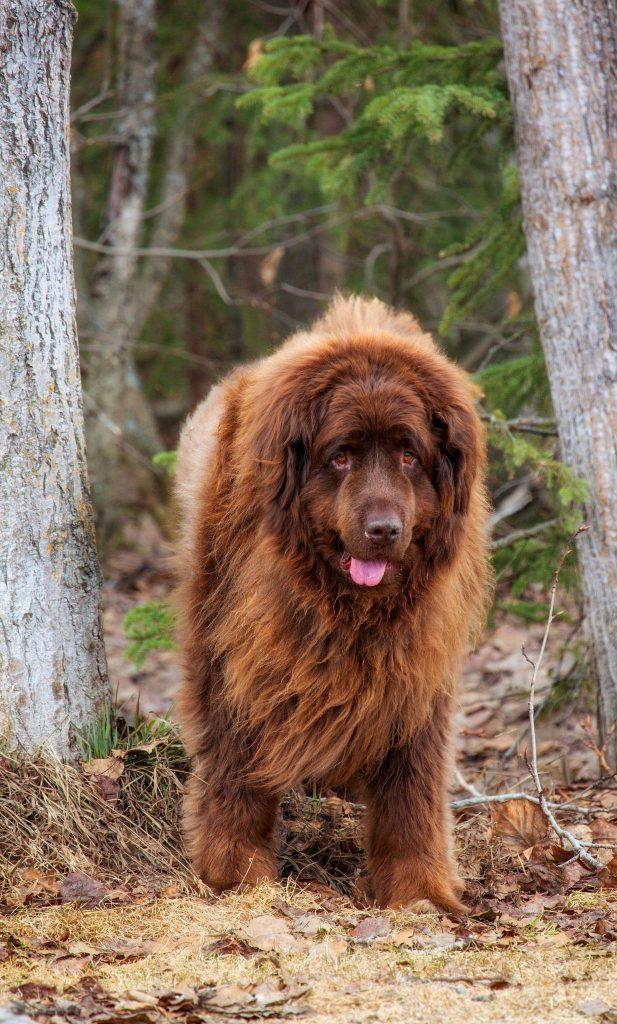 Невероятно выносливый и сильный пес, вполне способный в мгновение ока уложить противника на лопатки, ньюфаундленд, тем не менее, лишен всякой агрессии по отношению к людям и другим животным