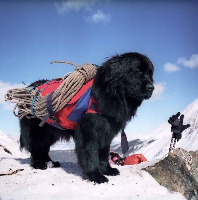 Ньюфаундленд – это прежде всего, собака-спасатель, привыкшая принимать решения и действовать самостоятельно в критических ситуациях