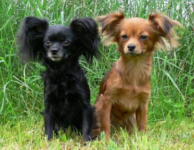 Это достаточно активные маленькие собаки, которые нуждаются в ежедневных прогулках
