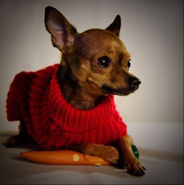 Собачки этой породы дружат не только с людьми, но и с другими собакам и домашним животными