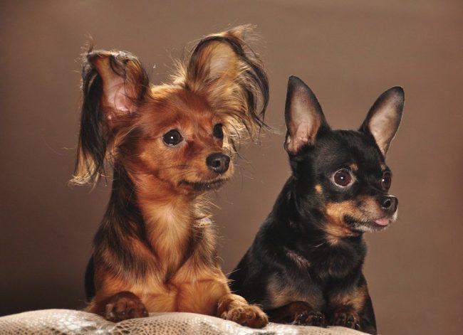 Прекрасные собачки, гладкошерстный и длинношерстный русский той-терьер