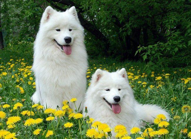 Красивые, здоровые, ухоженные собаки дают качественное потомство