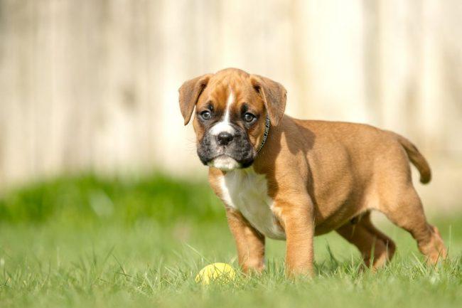 Для правильного развития щенка нужно тщательно следить за его питанием
