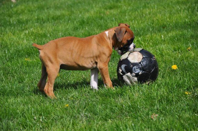 Активный и здоровый щенок боксера