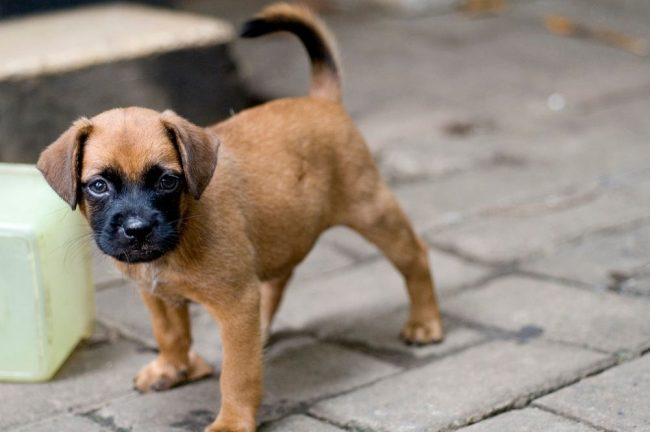 Очаровательний щенок боксера