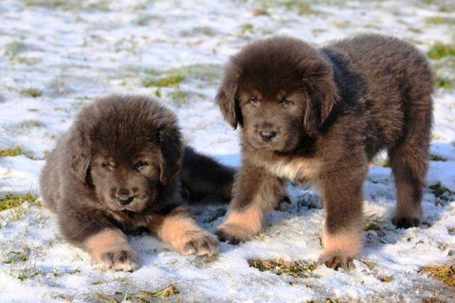 У тибетского мастифа ласковый нрав, о чем свидетельствует вполне мирное сосуществование собак одного пола