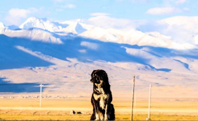 Сильные, храбрые, умные, ради своего хозяина эти собаки готовы на все