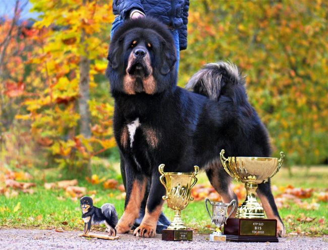 Тибетский мастиф - это действительно настоящая аристократическая собака с тысячелетней историей