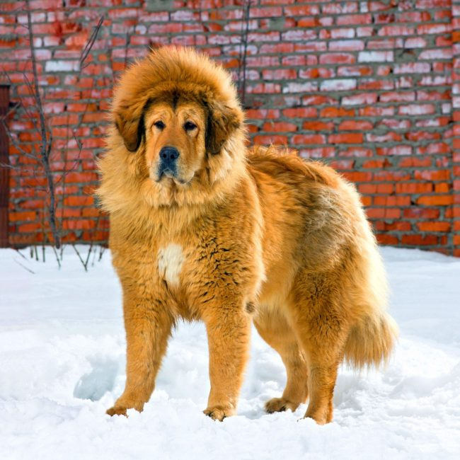 Тибетские мастифы обладают хорошо заметной гривой, а если добавить к этому внушительный размер, то их можно считать царями среди других пород собак