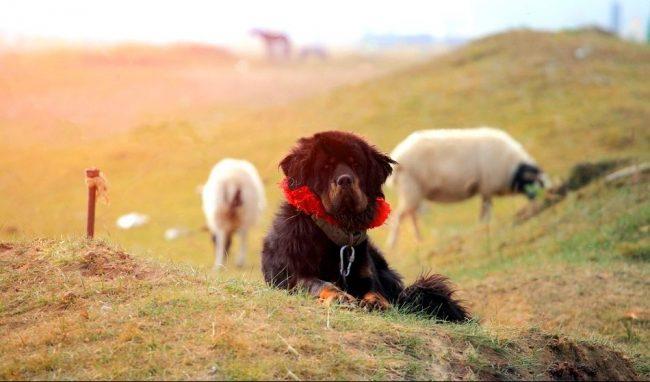 Тибетский мастиф – достаточно редкая собака, мало кому посчастливилось видеть ее вживую