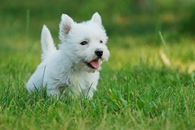 Вот так выглядит здоровый щенок вест-хайленд-терьера