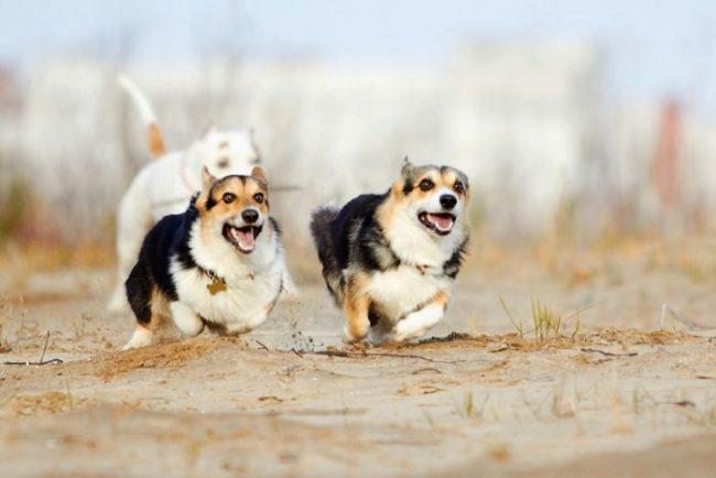Вельш-корги – очень активная собака, которая любит длительные прогулки и энергичные игры