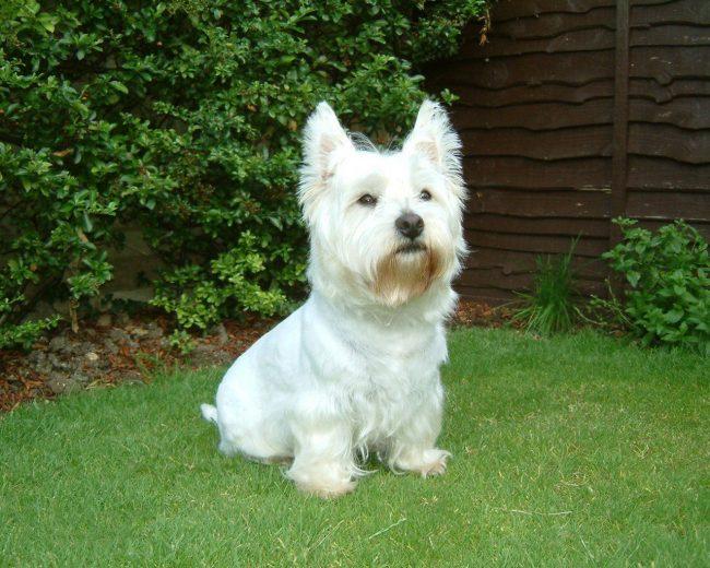 Вест-хайленд-уайт терьеры интеллигентные собаки с хорошими манерами