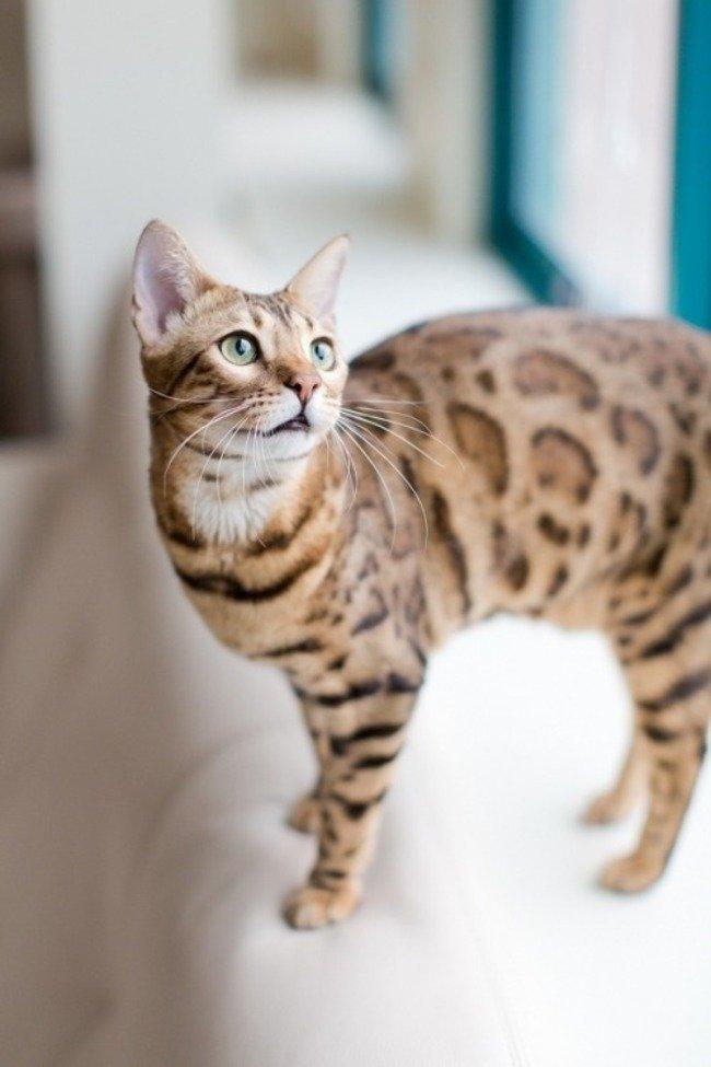 как выглядит бенгальский кот