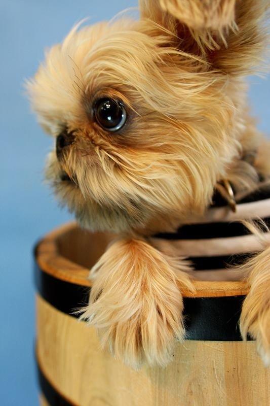 грифон собака фото