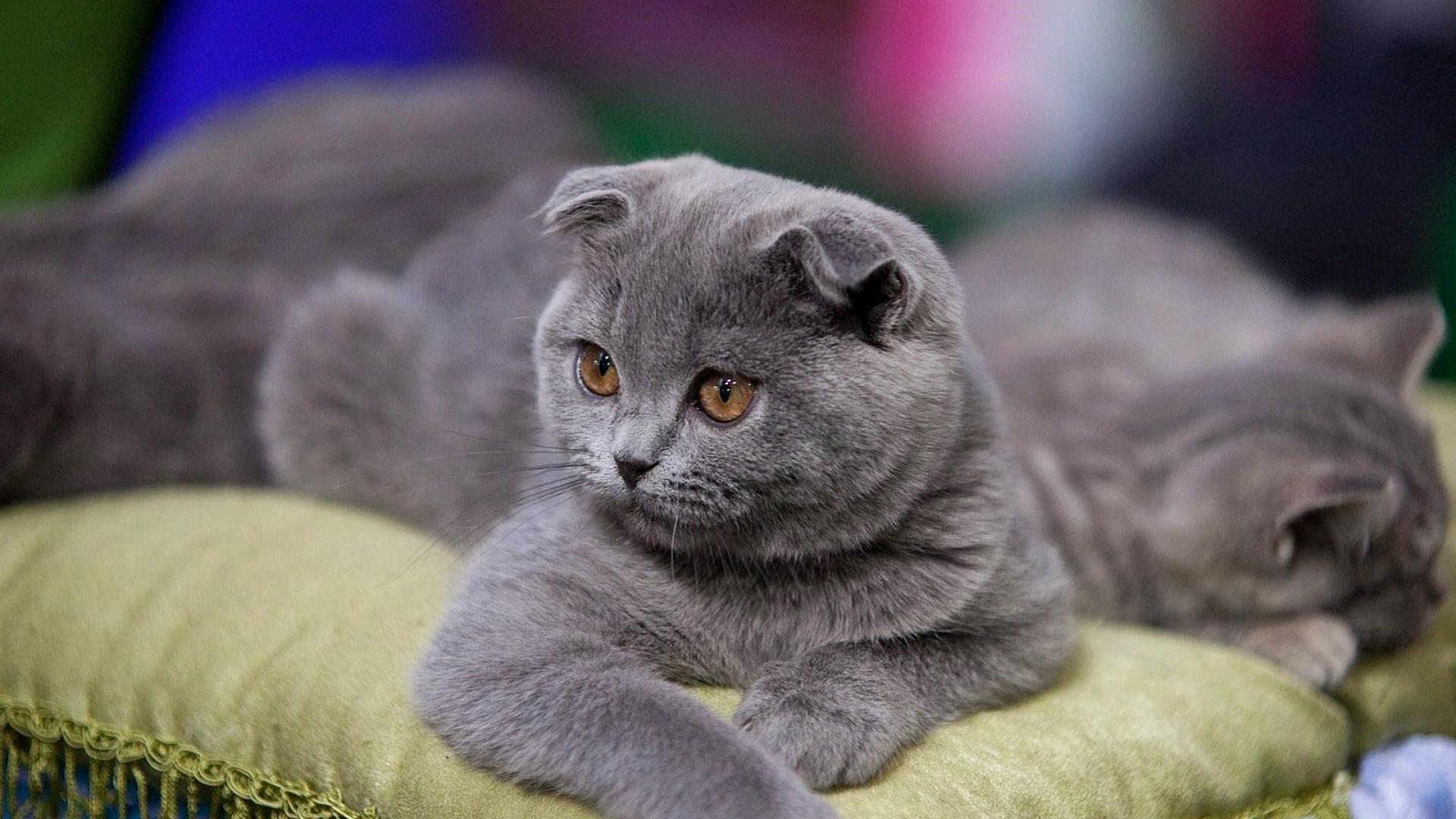 вислоухий коты